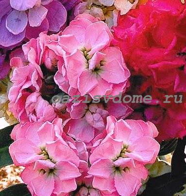 Выращивание маттиолы (левкоя) из семян: когда и как сажать, как вырастить красивые цветы