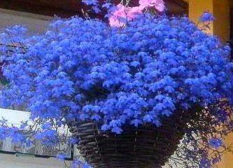 Лобелия сорта Голубой фонтан в кашпо