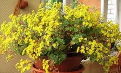 Комнатный цветок Аихризон