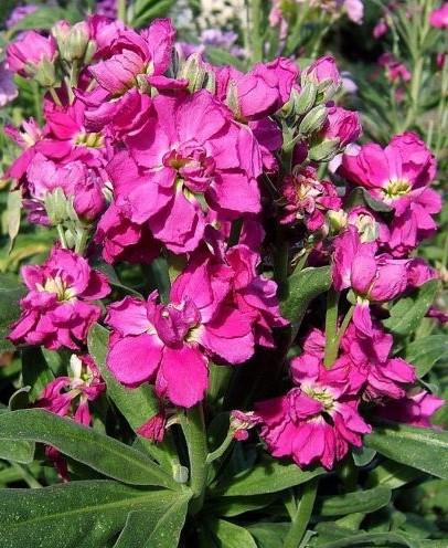 Цветение маттиолы в саду