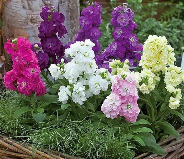 Разнообразные цвета маттиолы