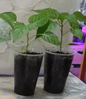 Выращивание перцев в отдельных стаканчиках