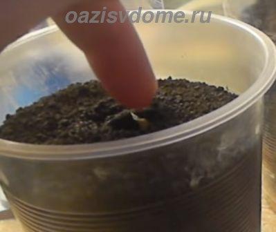 Посев перца в стаканчик