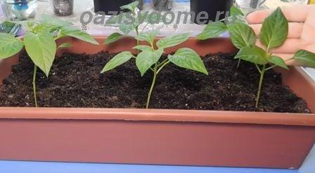 Выращивание рассады перцев без пикировки в ящике