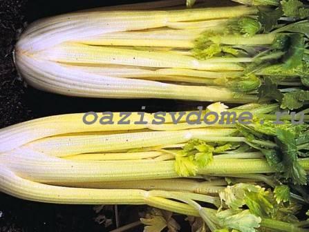 Как вырастить из семян сельдерей черешковый от посева до высадки в грунт пошагово