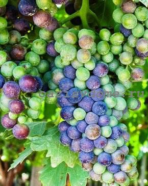 Проращивание и укоренение черенков винограда в домашних условиях