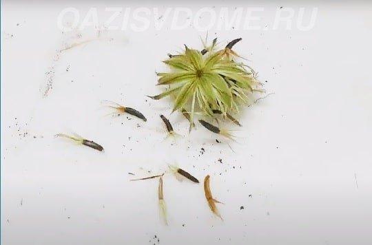 Агератум семена