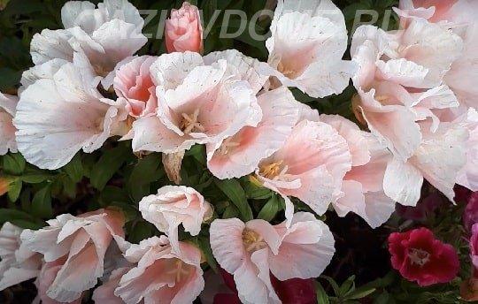 Годеция цветок