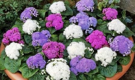 Агератума цветение