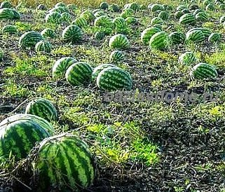 Когда и как правильно сажать арбузы на рассаду - советы опытных садоводов