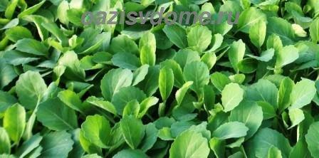 Капуста на рассаду: когда сажать и как правильно сеять семена пошагово с фото