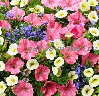 Выращивание петунии от посева до цветения – подборка материалов