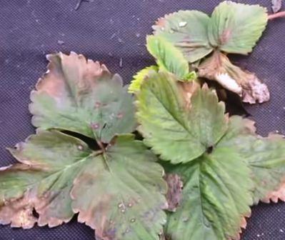 Больные листья клубники