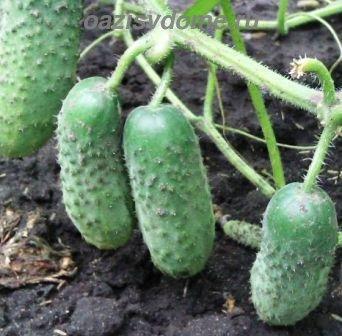 Сроки посадки огурцов на рассаду для теплицы и открытого грунта