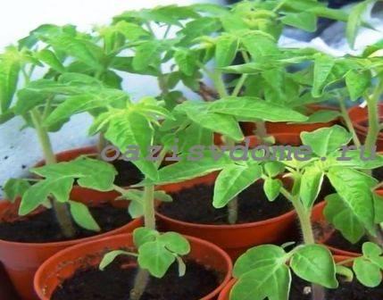 Подкормка рассады помидор народными средствами: рецепты и их применение