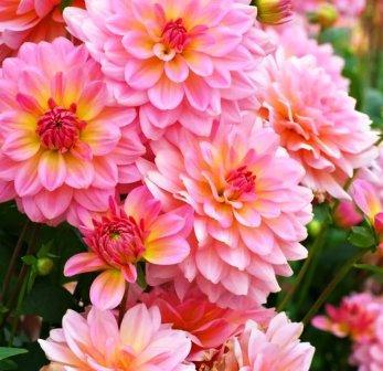 Летнее цветение георгинов