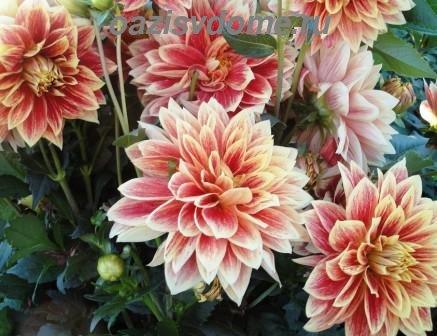 Георгины осенью: как и когда выкапывать клубни на хранение