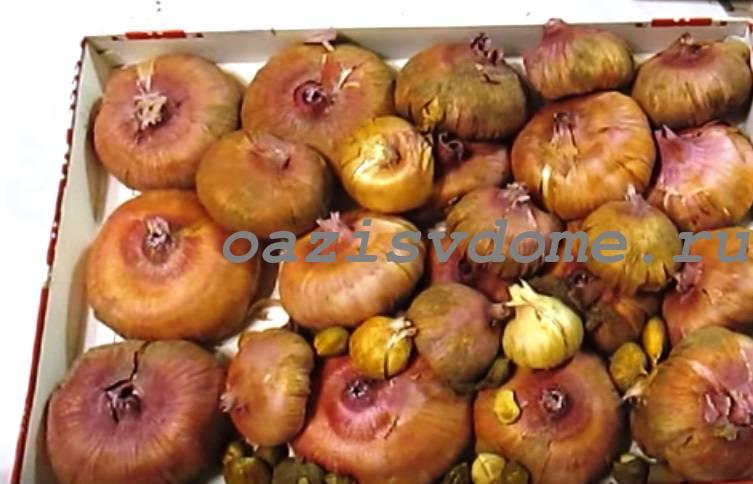 Луковицы гладиолусы для проращивания