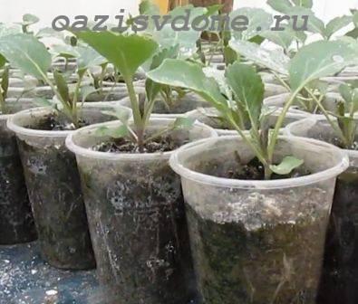 Пикировка рассады капусты: когда и как правильно пикировать пошагово с фото