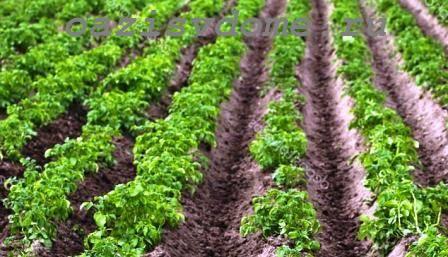 Когда и как правильно сажать картофель, чтобы получить хороший урожай