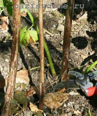 Обрезка малины весной для начинающих в картинках