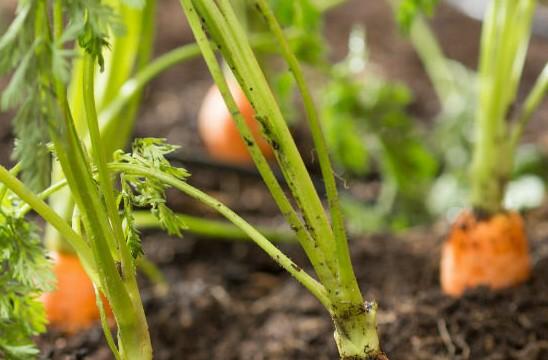 Посадка моркови с крахмалом и песком