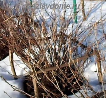 Черная смородина: обработка весной от вредителей и болезней кипятком, купоросом, препаратами