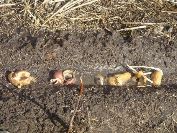 Картофельные очистки для подкормки растений