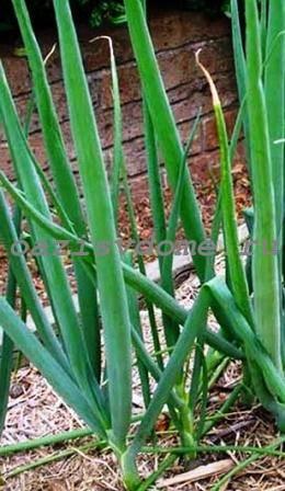 Лук-батун: посадка, выращивание и уход