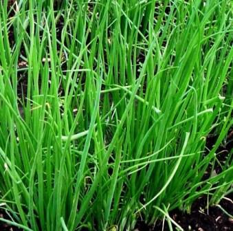 Зелень лука батуна