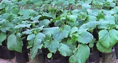 Когда и как правильно сажать рассаду огурцов в грунт – пошагово с фото