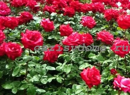 Подкормка роз весной для цветения и роста