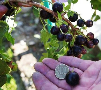 Хороший урожай крупных ягод смородины