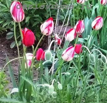 Тюльпаны отцвели: что делать, как ухаживать дальше, фото, видео