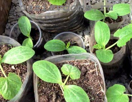 Как правильно и когда высаживать рассаду кабачков в открытый грунт