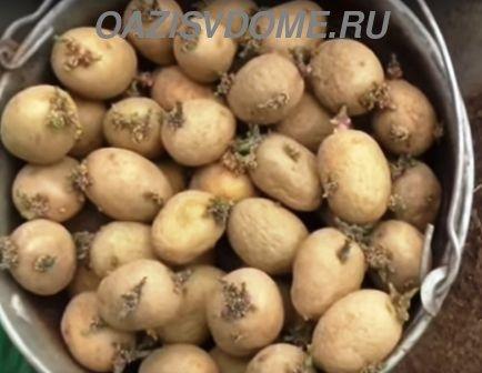 Посадка картофеля: какие удобрения вносить в лунку под картошку