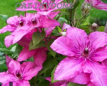 Подкормка клематисов для обильного цветения