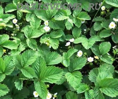 Народные средства для подкормки клубники во время цветения