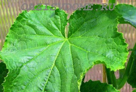 Желтеют листья у огурцов: чем подкормить или обработать огурчики