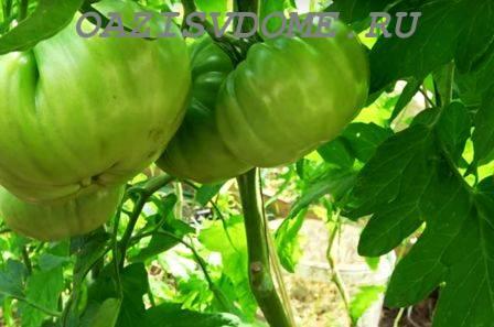 Когда, какие и как правильно обрывать листья у помидор