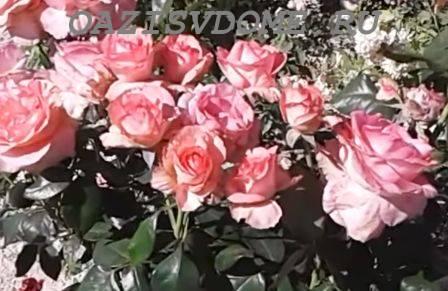 Подкормка роз на даче летом