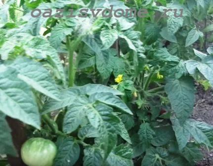 Чем лучше подкормить помидоры после высадки