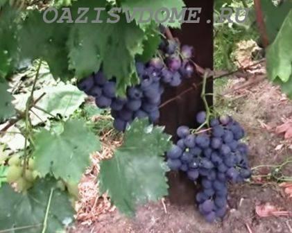 Как правильно обрезать виноград летом для начинающих
