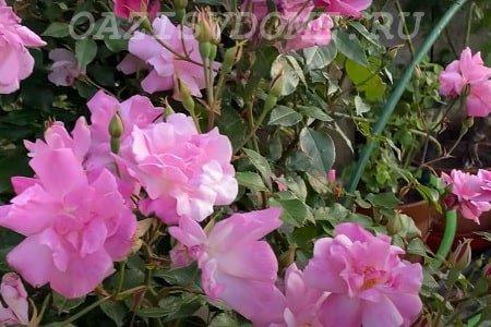Пересадка роз на другое место
