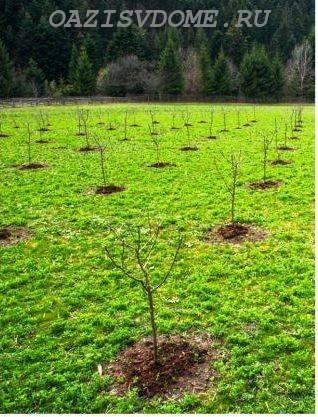 Посадка саженцев яблони весной и осенью