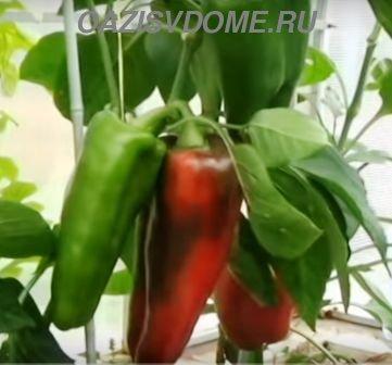 Плоды перцев когда можно снимать с куста
