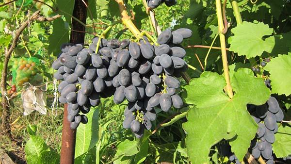 Черный виноград Кодрянка