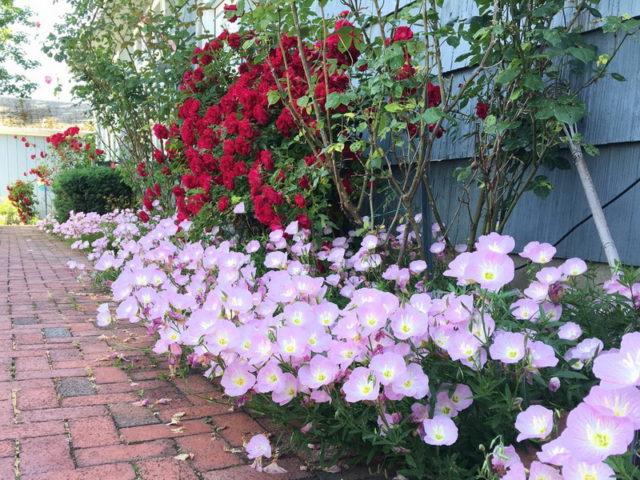 Энотера в саду