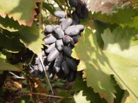 Черные сорта винограда: фото, описание