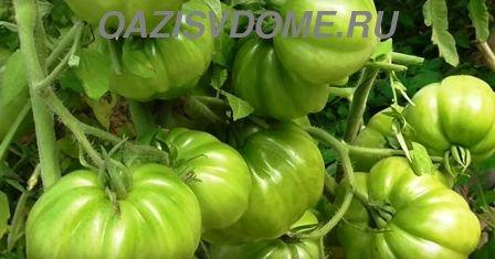 Способы ускорения созревания помидоров на кустах